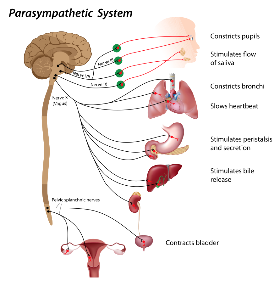 Vagus nerve stimulation « Health and Medical News and Resources